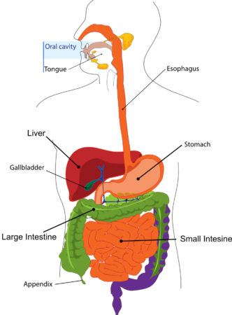 Digestive System Illustration